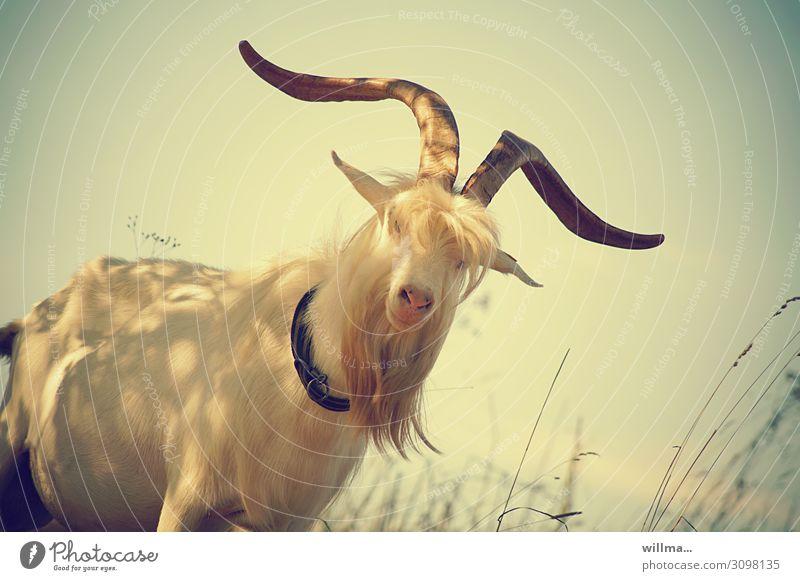 warum stinkt der bock? Ziegen Ziegenbock Geißbock Bock Bart Fell weiß Tier beeindruckend Nutztier Haustier Horn Wiederkäuer Paarhufer Tierporträt Farbfoto