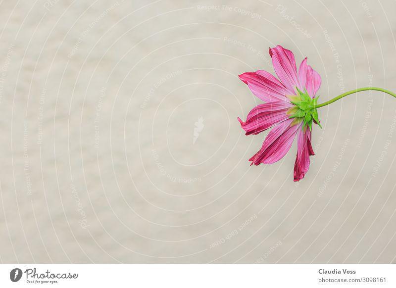 Blüte mal anders Natur Pflanze Blume außergewöhnlich rosa Schutz Verschwiegenheit achtsam ruhig bescheiden Neugier Interesse Hoffnung Überraschung Traurigkeit
