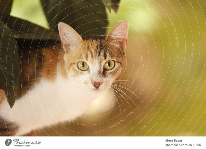 Kaliko-Katze auf Krokettenbaum. Pflanze Tier Baum Blatt Haustier Tiergesicht dreifarbige Katze Kattun Katze 1 dünn Wachsamkeit Neugier Interesse Erwartung