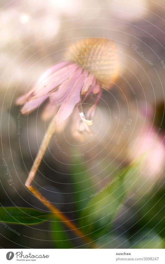 blume mit knick im stängel Blume Blüte Stängel Knicks Bruch Unfall Licht verwelkt Vergänglichkeit Sonnenlicht Natur Pflanze romantisiert Schwache Tiefenschärfe