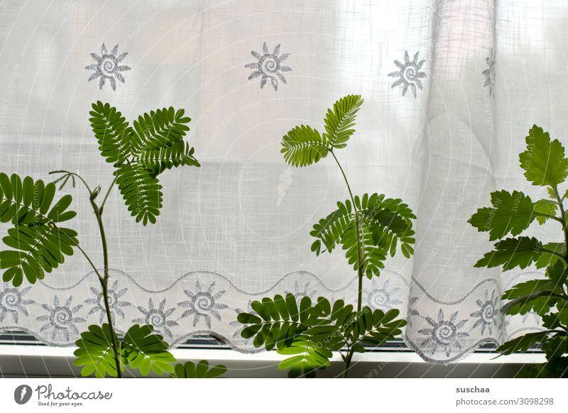 mimosen am fenster Fenster Vorhang Gardine Pflanze Gewächs Blume Mimose Mimosengewächs Blätter grün Häusliches Leben Menschenleer Wohnung Topfpflanze Licht