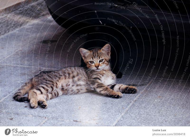 Tiger, auf Anfang Tier Haustier Katze Fell 1 2 Tierjunges Zusammensein Tierliebe schön Stolz Tigerkatze Sizilianer Katzenbaby Straßenkatze Geschwister Vorsicht