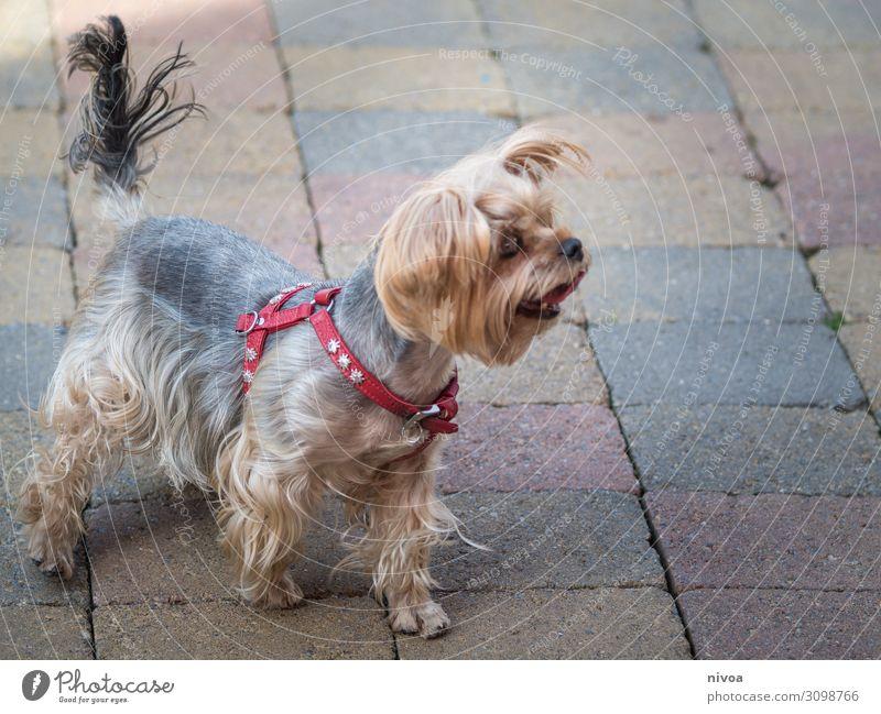 Yorkshire Terrier Hund Sommer rot Tier Freude Spielen Ausflug Freizeit & Hobby frei frisch Fröhlichkeit Lebensfreude Platz niedlich beobachten Neugier