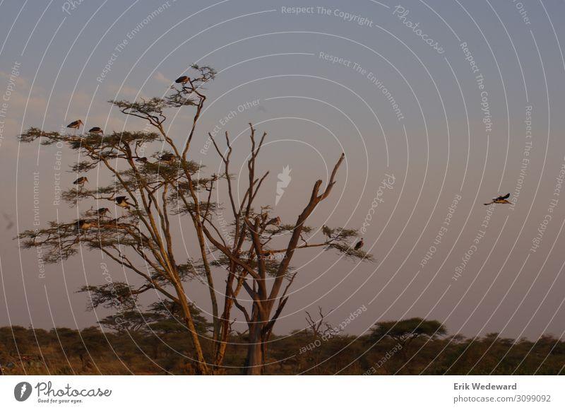 Abflug Ferien & Urlaub & Reisen Safari Sommer Sommerurlaub Natur Tier Horizont Sonnenaufgang Sonnenuntergang Schönes Wetter Baum Flügel Vogel 1 Tiergruppe