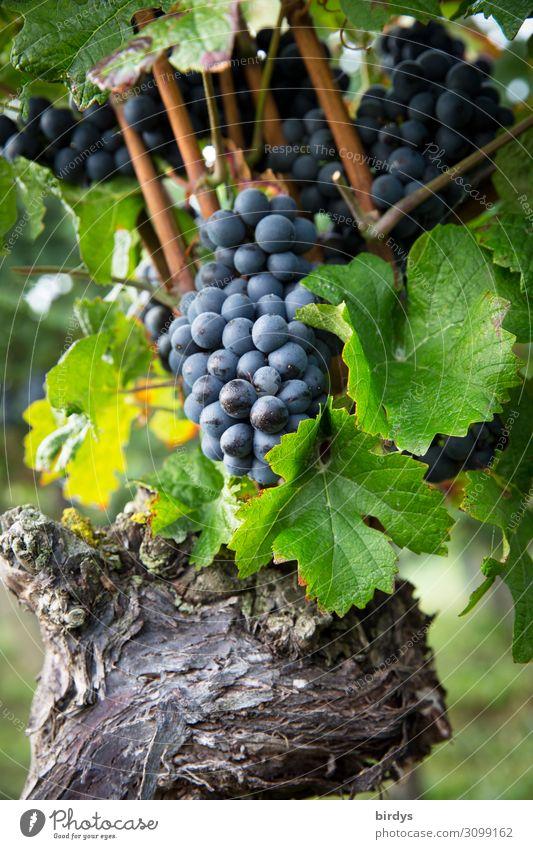 reife Trauben Frucht Landwirtschaft Forstwirtschaft Pflanze Nutzpflanze Wein Weintrauben Weinbau Weinblatt Wachstum ästhetisch authentisch frisch Gesundheit