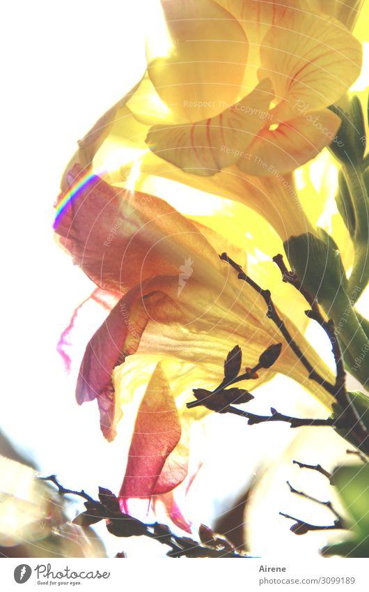 antizyklisch Pflanze Blume Blüte Blumenstrauß Freesie Blühend leuchten Duft frisch hell positiv gelb rosa weiß Frühlingsgefühle Romantik elegant Natur zart