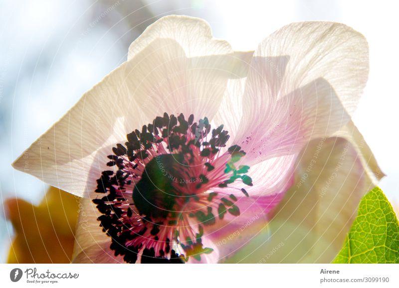 Licht zaubert Farbe Schönes Wetter Blume Blüte Mohnblüte Blütenblatt Staubfäden leuchten Freundlichkeit hell rosa Lebensfreude Frühlingsgefühle ästhetisch