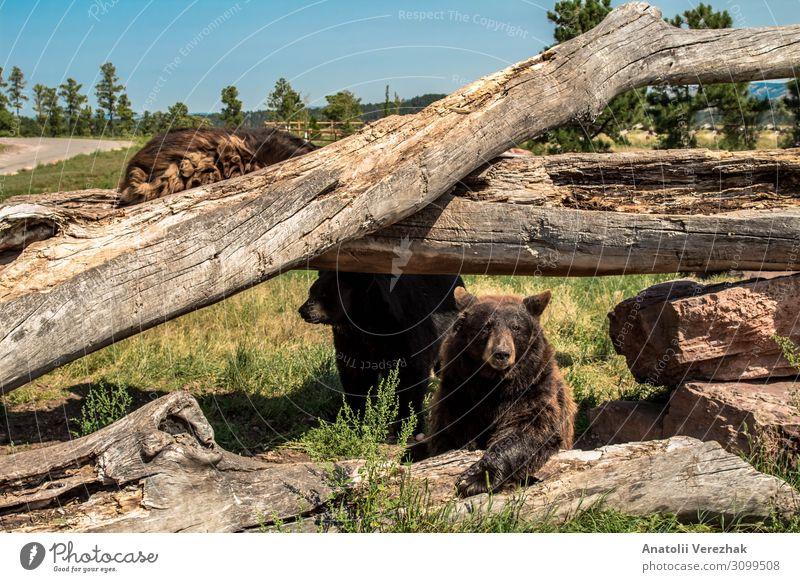 Nordamerikanischer Schwarzbär beim Klettern auf den umgestürzten Bäumen Sommer Natur Tier Baum Gras Park Wald Pelzmantel groß natürlich wild braun grau grün