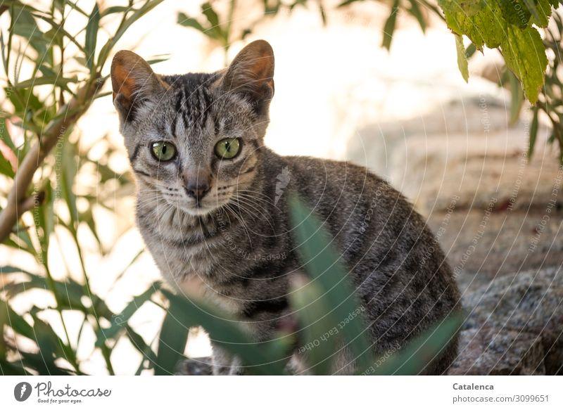 Ein korsisches Kätzchen Sommer Schönes Wetter Pflanze Blatt Oleander Garten Haustier Nutztier Katze 1 Tier beobachten sitzen schön klein braun grün schwarz
