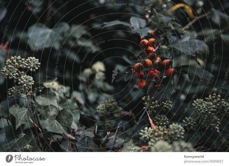 Hagebutten an einem Strauch Rose Rosengewächse rot grün Blatt Pflanze Farbfoto Natur Frucht Sträucher Herbst Menschenleer Außenaufnahme Schwache Tiefenschärfe