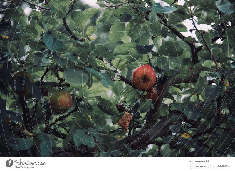 Zwei Äpfel umgeben von grünen Blätter an einem Baum Apfel Apfelbaum Herbst Frucht Farbfoto Außenaufnahme Natur rot Pflanze Blatt Gesundheit Umwelt frisch