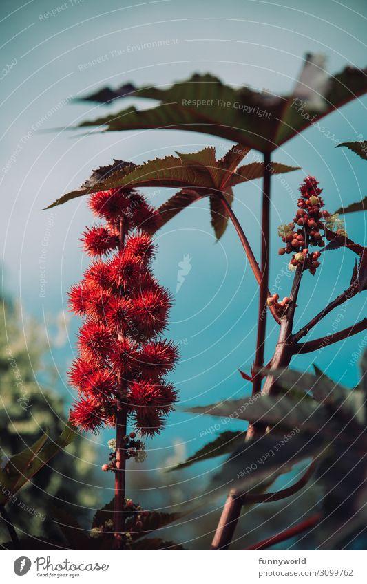 Rote, stachelige Blüte vor blauem Himmel Pflanze Natur Blume Makroaufnahme exotisch Menschenleer Detailaufnahme Schwache Tiefenschärfe Farbfoto Nahaufnahme
