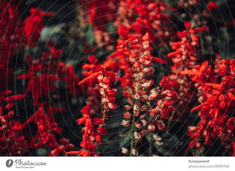 Leuchtend rote Blüten Pflanze Natur Blume Makroaufnahme exotisch Detailaufnahme Schwache Tiefenschärfe Farbfoto Nahaufnahme Außenaufnahme Tag Umwelt Wildpflanze