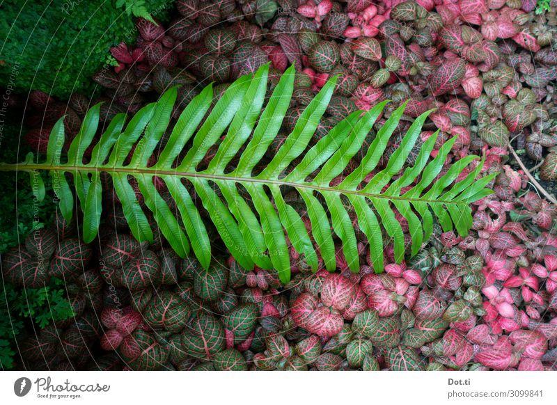 Tüpfelfarn Pflanze Farn Grünpflanze grün rosa Farbe Natur Bodendecker Farnblatt geschlossen Unterholz Farbfoto Menschenleer Textfreiraum links Vogelperspektive