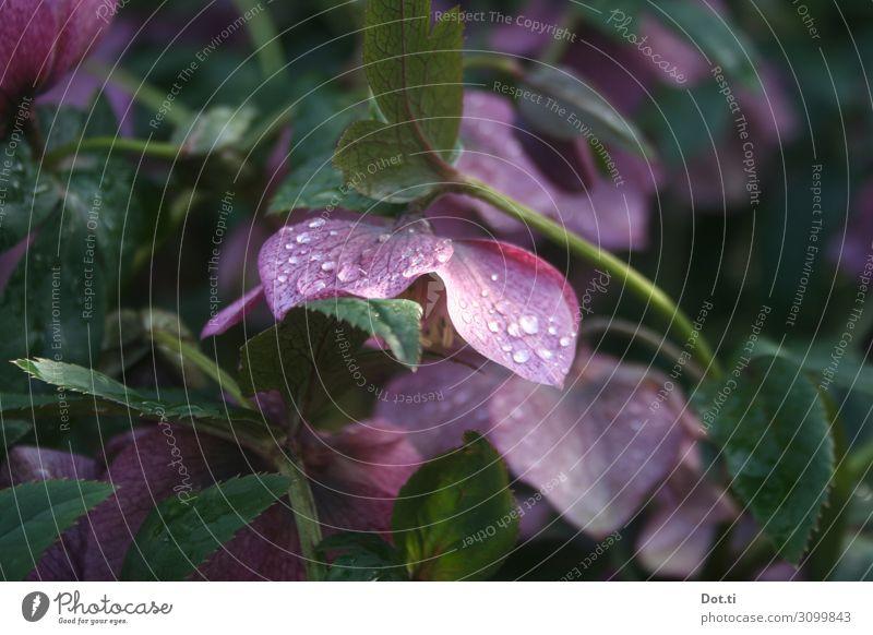 Christrose Natur Pflanze Blatt Blüte Garten rosa Tau