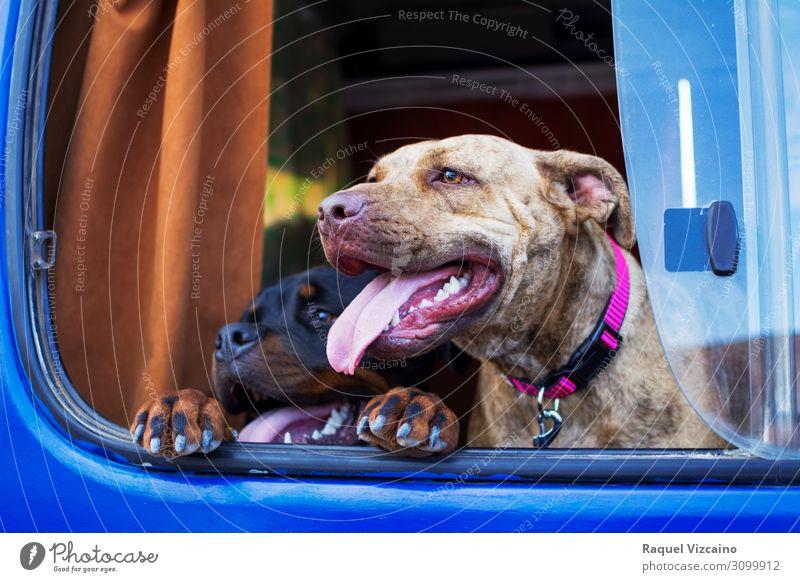 Zwei Hunde, die in das Auto schauen. Verkehr Fahrzeug Wohnwagen Tier Haustier 2 beobachten genießen Glück Stadt blau braun rosa schwarz Gefühle Freude Tierliebe