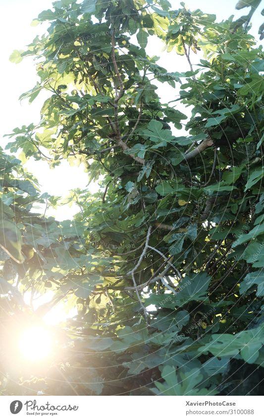 Baum am Meer Natur Landschaft Pflanze Sonne Sommer Feige Garten Wald Romantik Wahrheit Toleranz Farbfoto Außenaufnahme Detailaufnahme Sonnenaufgang