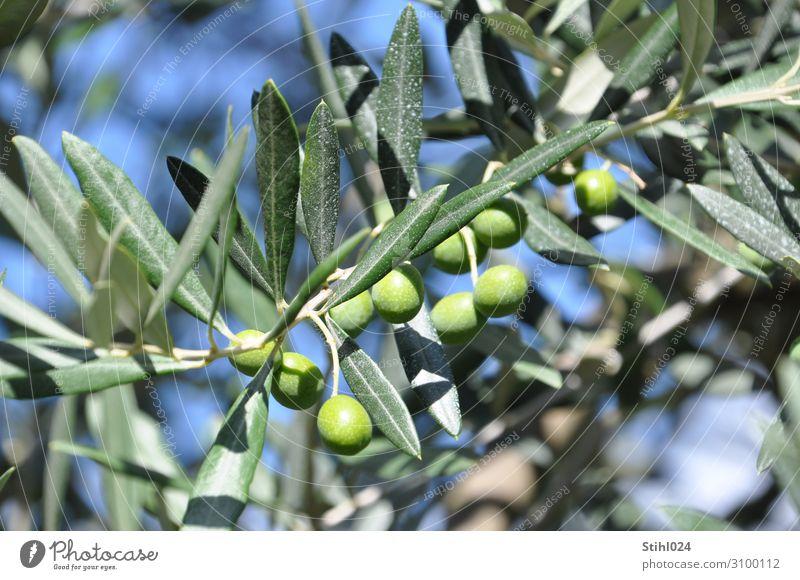 grüne Oliven am Baum Gemüse Olivenbaum Olivenblatt Bioprodukte Herbst Nutzpflanze blau genießen Italien mediterran biologisch Biologische Landwirtschaft