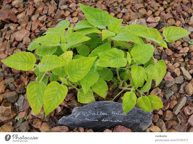 Sage, Fruit, Salvia dorisiana Frucht Kräuter & Gewürze grün Salbei Heilpflanzen Küchenkräuter Kuechengewuerz Gewuerzkraut Duftkraut Kraeuterpflanze