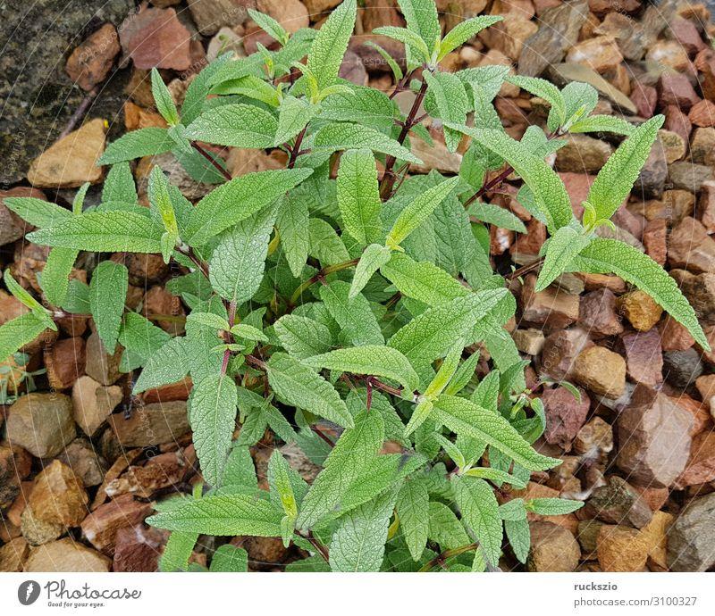 Sage, velvet, salvia leucanhe, Kräuter & Gewürze grün Salbei Samt Salvia leucanhe Heilpflanzen Küchenkräuter Kuechengewuerz Gewuerzkraut Duftkraut