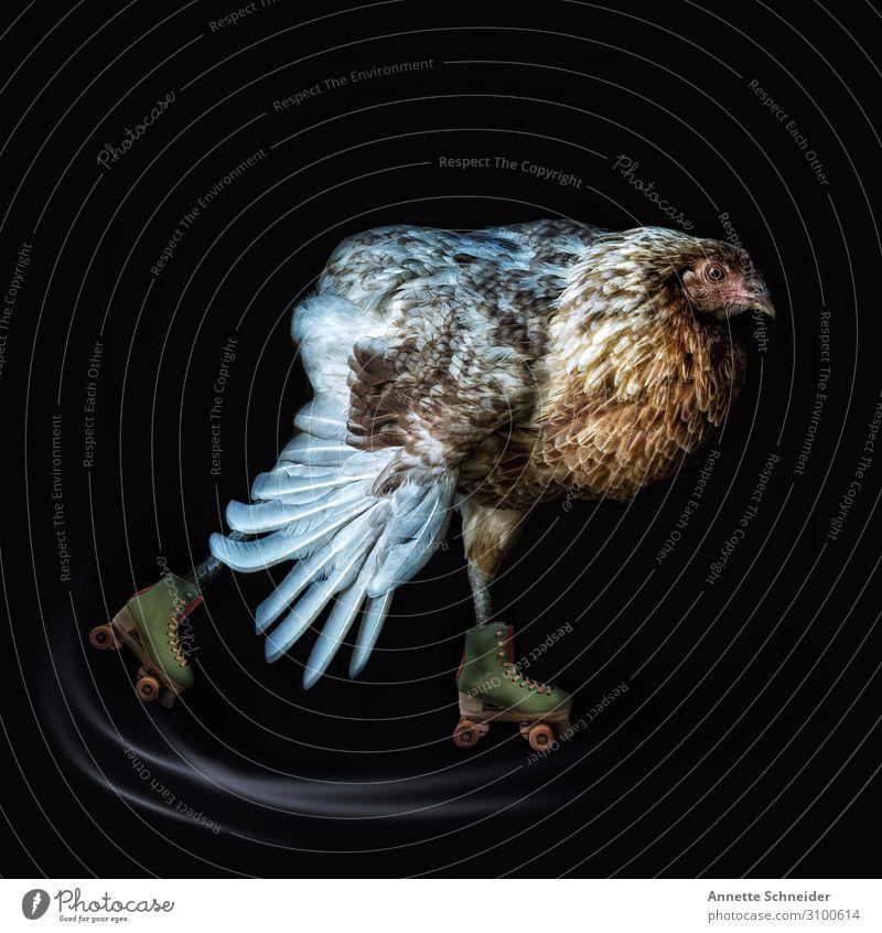 Chicken run Tier Haustier Nutztier Huhn 1 Rollschuhe Freude Fröhlichkeit Fitness Farbfoto mehrfarbig Außenaufnahme Freisteller Tag Tierporträt