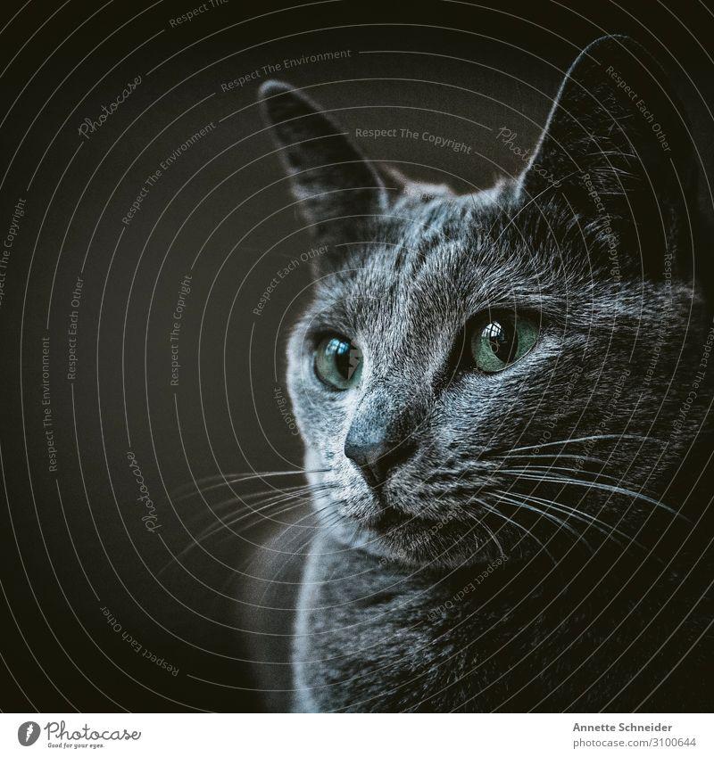 Katze Tier Haustier 1 grau grün Farbfoto Gedeckte Farben Freisteller Hintergrund neutral Tierporträt Blick nach vorn