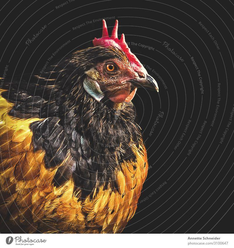 Huhn Tier Haustier Nutztier Haushuhn 1 braun mehrfarbig gelb rot Farbfoto Freisteller Hintergrund neutral Tierporträt Blick nach vorn