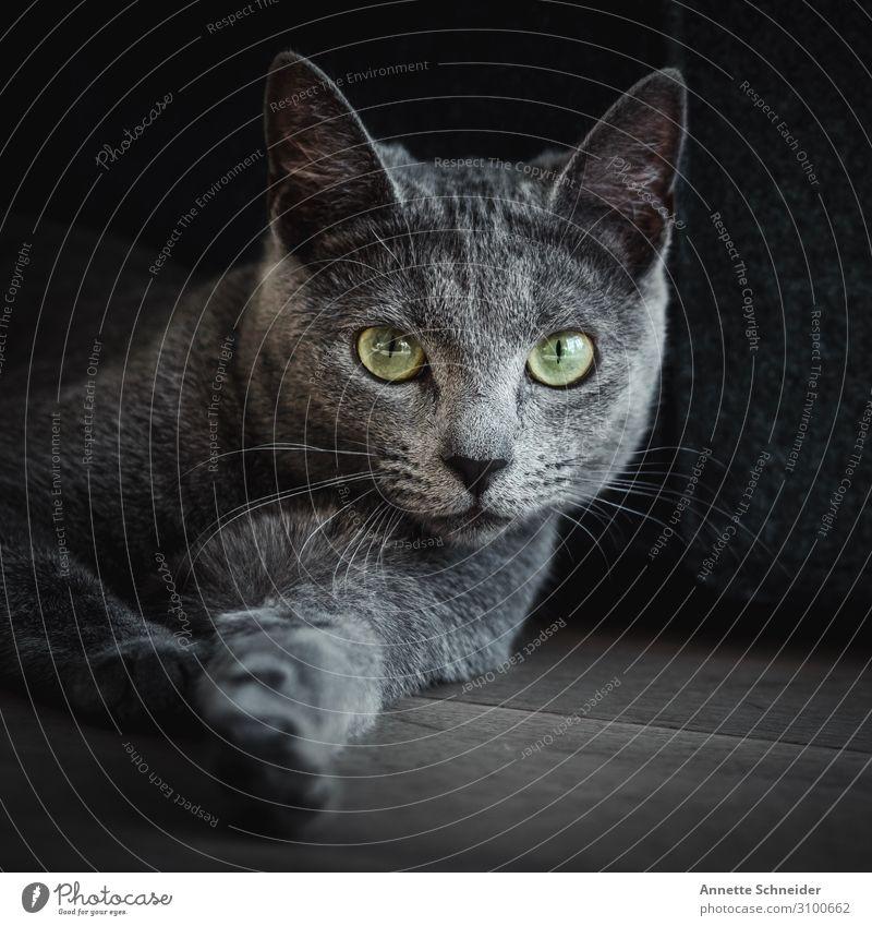 Katze Russisch blau Tier Haustier 1 grau grün Blick in die Kamera