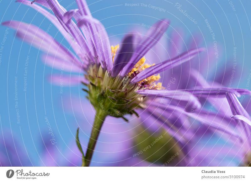 Asternblüte, der Herbst kommt Natur Pflanze Sommer Blume Blüte Blühend Duft träumen verblüht Wachstum außergewöhnlich natürlich blau violett Frühlingsgefühle