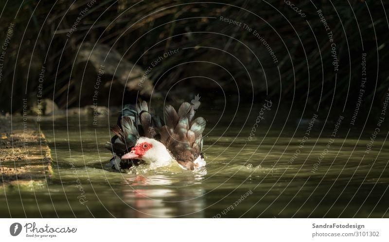 A duck cleaning in the water - one from a series ruhig Freizeit & Hobby Ferien & Urlaub & Reisen Sommer Natur Wasser See Tier 1 Schwimmen & Baden beobachten