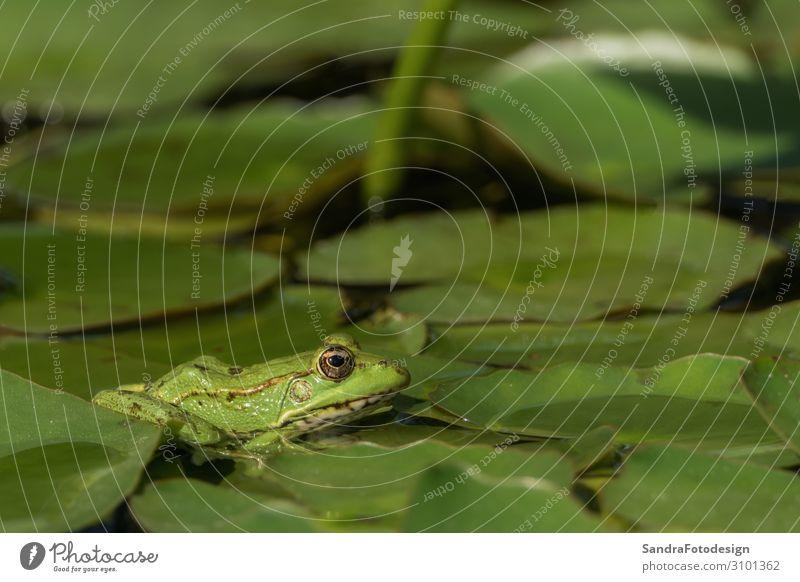 A green frog sitting in the pond full of water lilies Schwimmbad Sommer Natur Tier Grünpflanze Frosch 1 beobachten entdecken springen grün amphibian animal lake