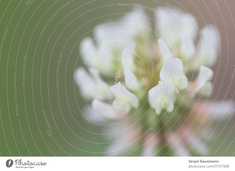 Blühender Klee, Natur, Makro Sommer Schönes Wetter Pflanze Blüte Garten schön grün rosa weiß Lebensfreude Frühlingsgefühle Kleeblüte Farbfoto Außenaufnahme