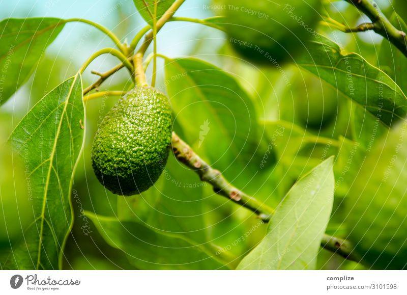 Reife Avocado am Baum Lebensmittel Gemüse Frucht Ernährung Essen Bioprodukte Vegetarische Ernährung Diät Italienische Küche Asiatische Küche Gesunde Ernährung