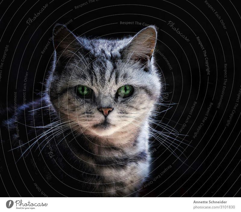 Grinsekatze Tier Haustier Katze 1 grau schwarz weiß Gedeckte Farben Freisteller Hintergrund neutral Tierporträt Blick in die Kamera