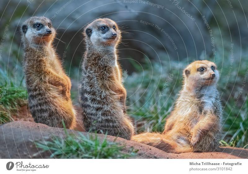 Aufmerksame Erdmännchen Natur Tier Sonnenlicht Schönes Wetter Gras Wildtier Tiergesicht Fell Pfote Manguste Kopf Auge Gesichter Beine 3 Tiergruppe beobachten