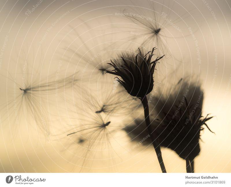 Fliegender Samen einer Distel im Gegenlicht. Sommer Natur Pflanze Himmel Sonnenaufgang Sonnenuntergang Sonnenlicht Wind Blume Blüte Wildpflanze Wiese natürlich