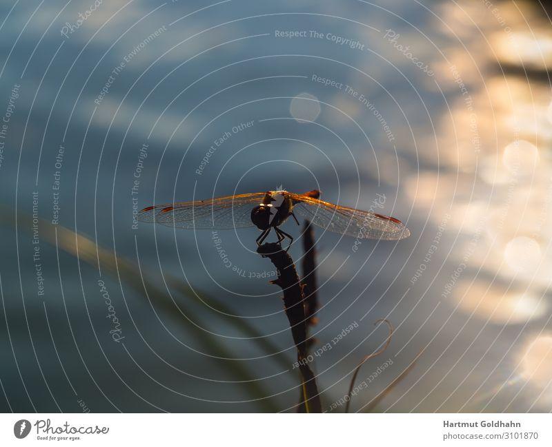 Eine Libelle im Sonnenuntergang fotografiert. ruhig Natur Pflanze Tier Teich Wildtier Flügel 1 sitzen Stimmung Gewässer Insekt Lichtstrahl Odonata Pflanzenteile