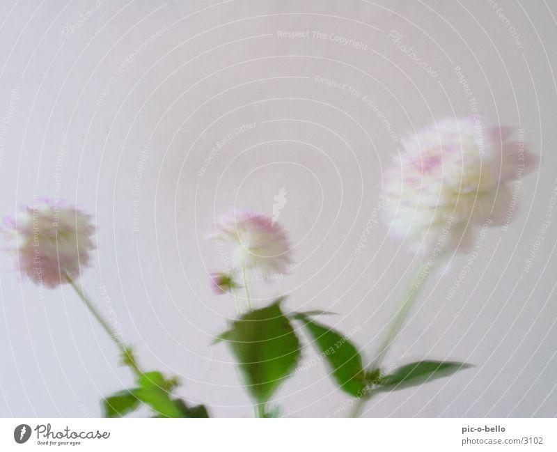blume in weiss Blume Stillleben Dahlien Pflanze Blüte weiß Unschärfe hell