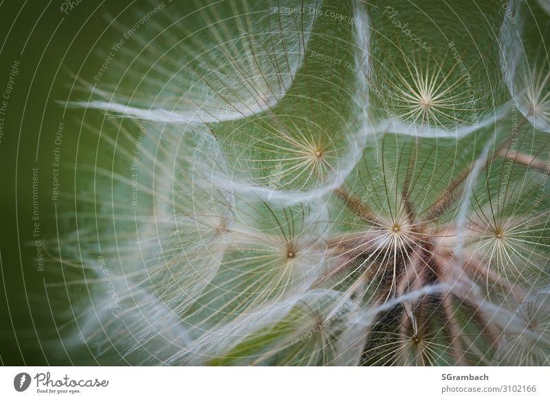 Wiesen-Bocksbart Umwelt Natur Frühling Sommer Pflanze Blume Wildpflanze Riesenpusteblume Heilpflanzen Feld ästhetisch außergewöhnlich natürlich schön weich