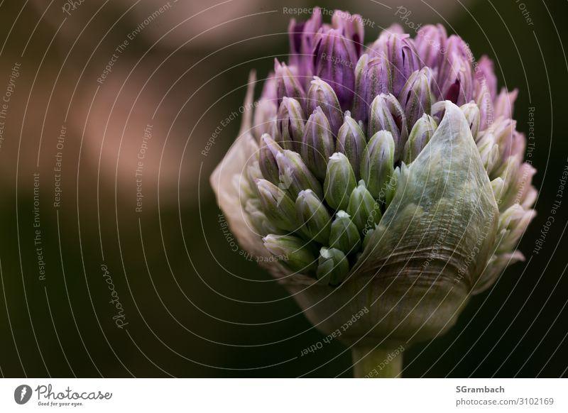 Zierlauch (Allium) Umwelt Natur Pflanze Frühling Blume Blüte Knollengewächse Garten Park ästhetisch groß natürlich schön gold grün violett schwarz Lebensfreude