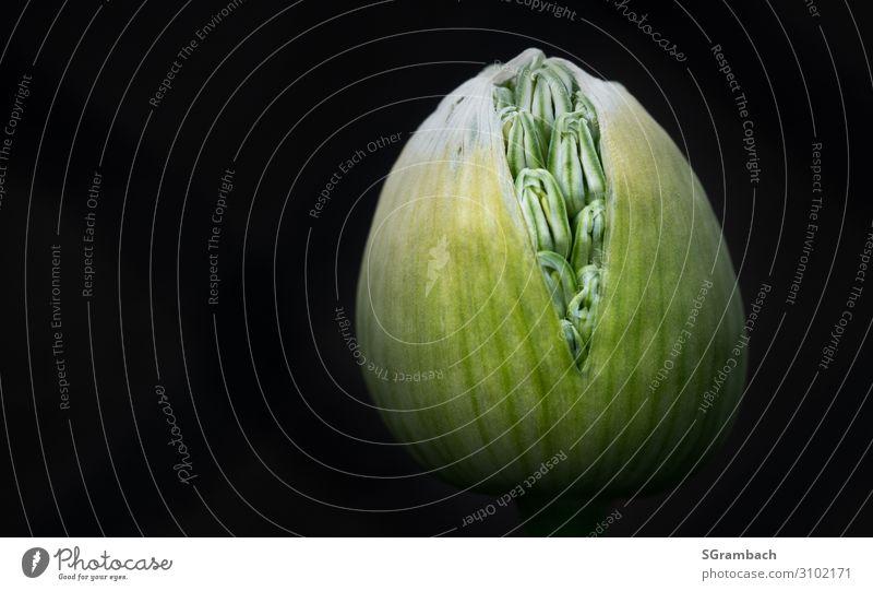 Zierlauch (Allium) Umwelt Natur Pflanze Frühling Blume Blüte Gartenpflanzen Beetpflanze außergewöhnlich natürlich schön gelb grün schwarz Gefühle Stimmung