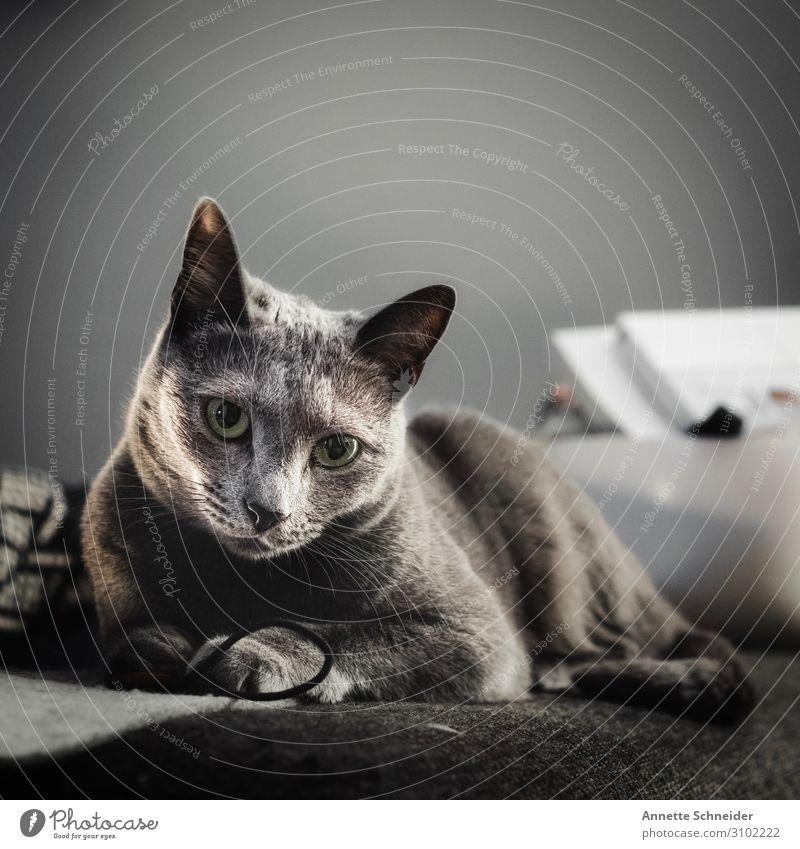 Katze Tier grau Häusliches Leben Wohnung Haustier Fell Tiergesicht