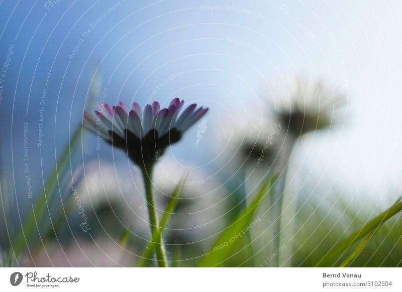 GänseMarsch! Himmel blau schön grün Blume Blüte Frühling Gras hell frisch Wachstum Fröhlichkeit neu positiv Blauer Himmel Vorfreude
