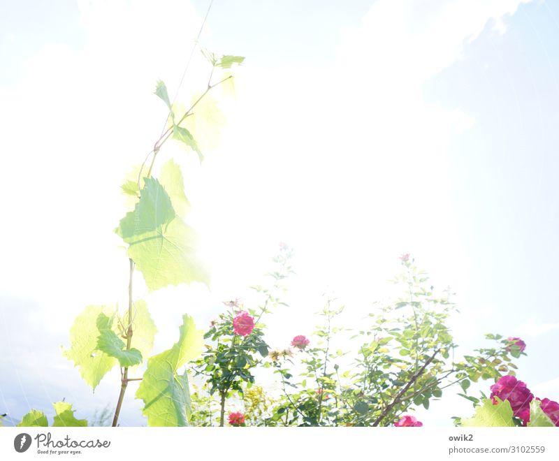 Lichtspiel Umwelt Natur Pflanze Himmel Sommer Schönes Wetter Rose Wein Weinranken Blatt Garten leuchten hell gleißend Überbelichtung Blühend Farbfoto