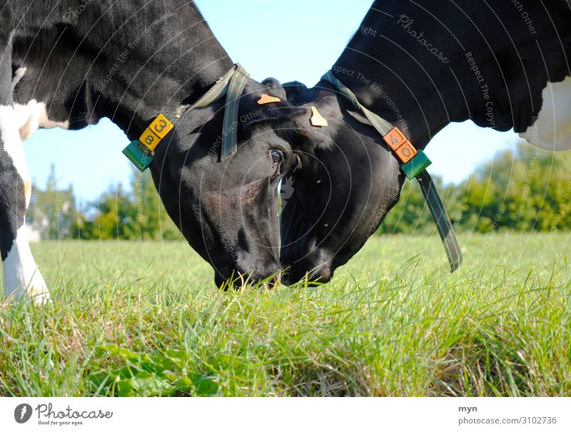 Zwei Kühe reiben liebevoll die Köpfe aneinander auf der Weide Kuh Liebe Wiese Landwirtschaft Kuscheln Zuneigung Kampf Futterneid Tier Gras Rind Herde Landschaft