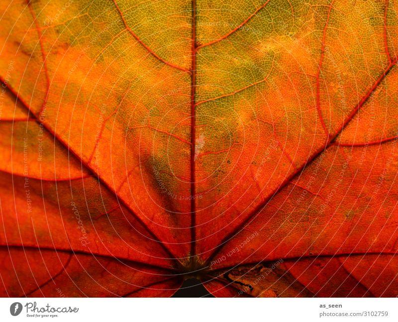 Herbstleuchten Oktoberfest Erntedankfest Umwelt Natur Pflanze Baum Blatt Ahornblatt Garten Park Herbstlaub ästhetisch natürlich mehrfarbig gelb grün orange rot