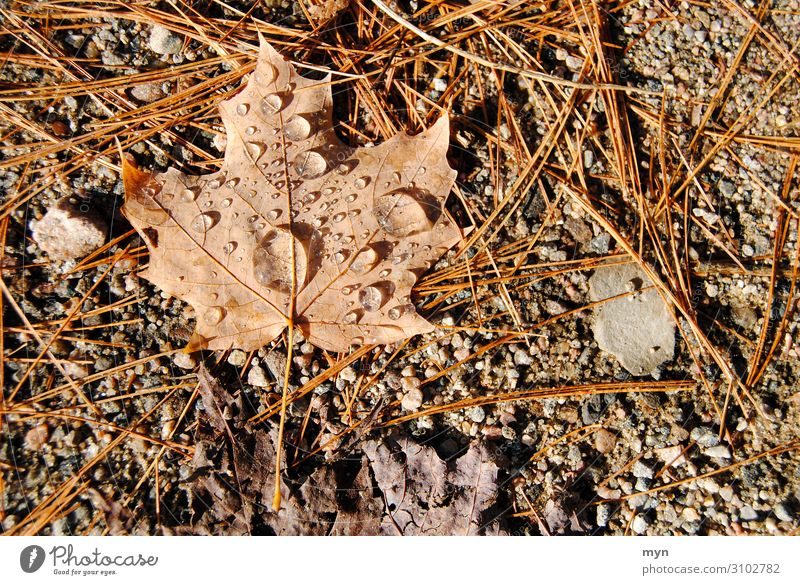 Ahorn Blatt Laub nach dem Regen Ahornblatt Herbst Kanada Herbstlaub herbstlich Tau braun Natur Herbstfärbung Symbole & Metaphern Maple Leaf Ontario Herbstbeginn