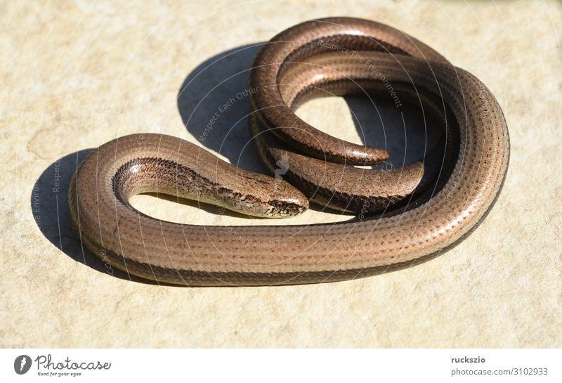 Squamat, Slow-worm Tier Wildtier liegen Blindschleiche Echsen Schleiche Reptil Lacertidae Schuppenkriechtiere Lizard creeper scaly crawler squamate Farbfoto
