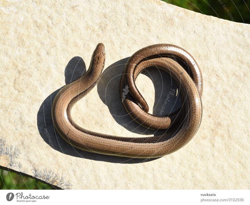 Squamat, Slow-worm Tier 1 authentisch Blindschleiche Echsen Schleiche Reptil Lacertidae Schuppenkriechtiere Lizard creeper scaly crawler squamate Farbfoto