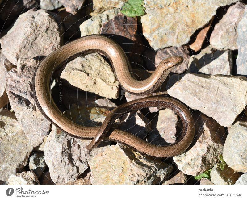 Squamat, Slow-worm Tier Wildtier 1 liegen Blindschleiche Echsen Schleiche Reptil Lacertidae Schuppenkriechtiere Lizard creeper scaly crawler squamate Farbfoto